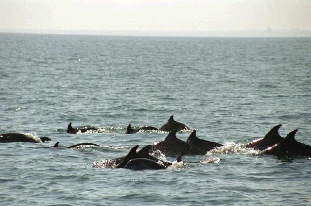 Делфини в яхтеното пристанище на Созопол 7