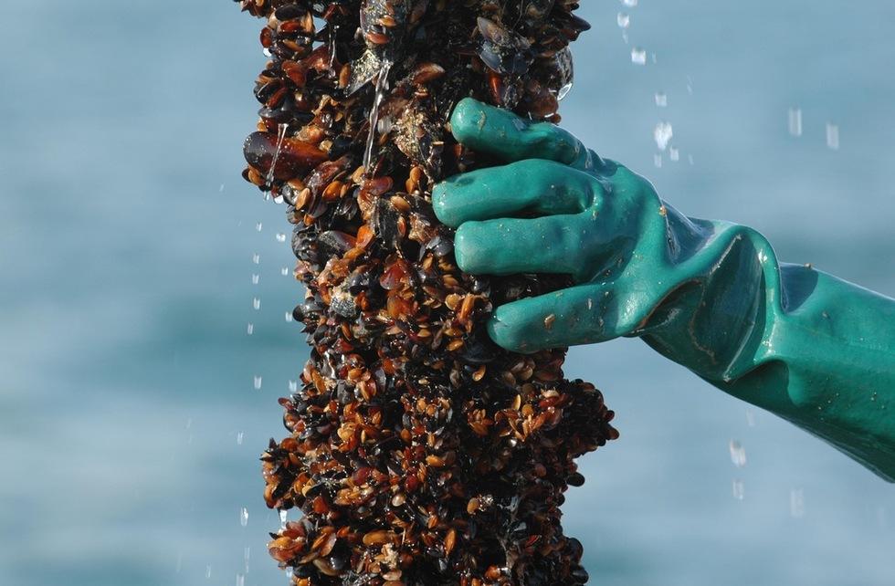 Заловиха бракониери на черна мида край Черноморец 1