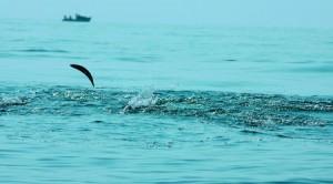 Паламуд в Черно море; снимка: Таня Атанасова 1