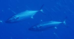 Румънски кораб ще проучва запасите от риба в Черно море 2
