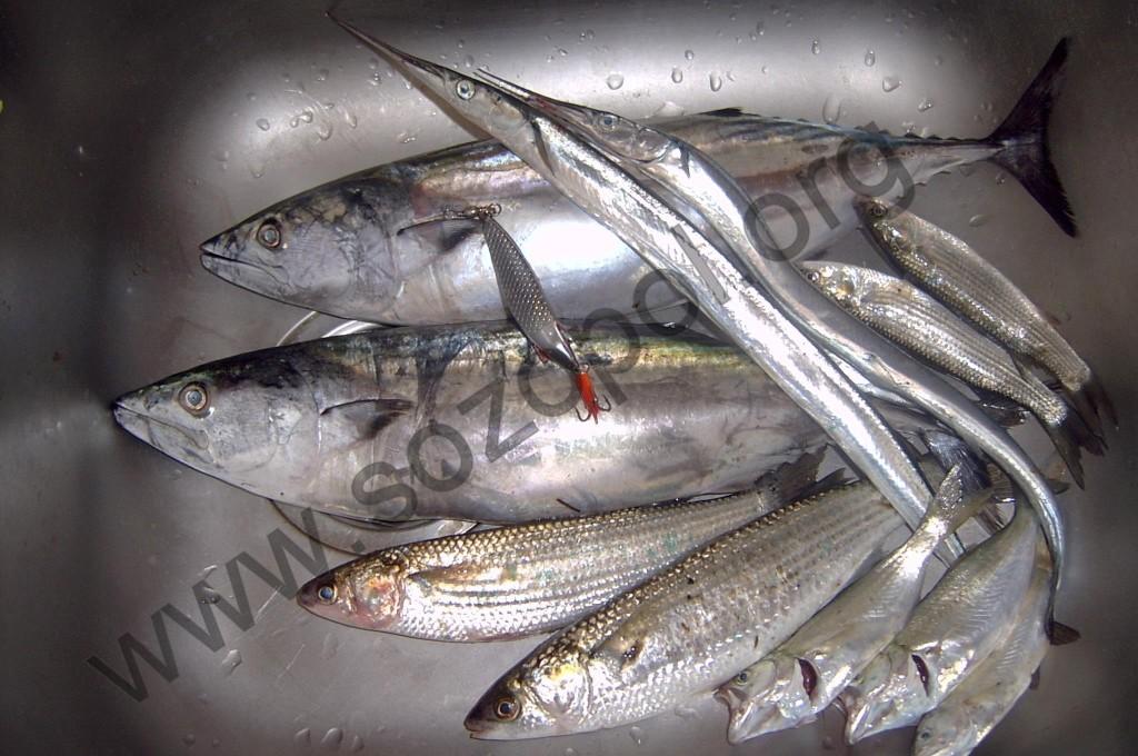 Паламуд край Созопол 2013 - вкусната риба се хваща дори на блесна - снимка: Ивайло Петков